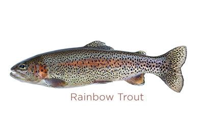 Rainbow Trout for sale - Parson's Nose