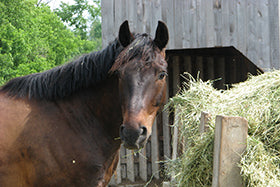 Steaming hay for the Insulin Resistant horse – May be as good or better than soaking