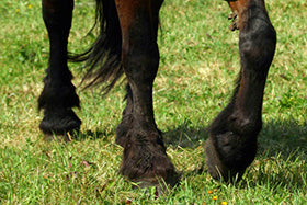 Laminitis- Causes and prevention