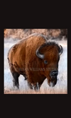 Susan Williams Bison Photograph on Canvas - Cowgirl Kim