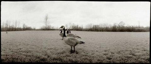 Gaggle of Geese Photography Mel Curtis BW- Portfolio2 Gallery