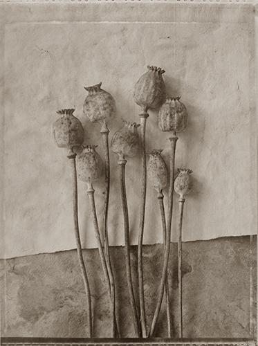 Hungarian Poppies #2 Photography Mel Curtis BW- Portfolio2 Gallery