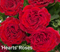 'Hearts' Roses - Red Garden Roses