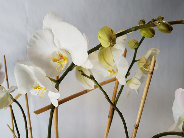 Serene Orchids - God's Garden Treasures