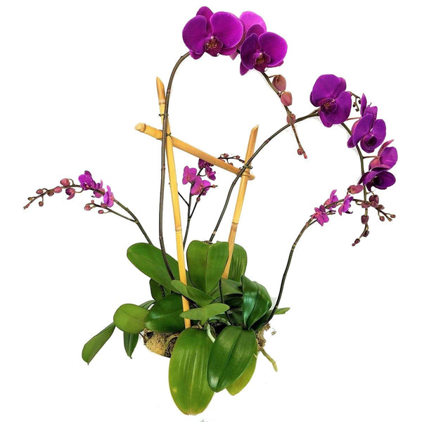 Orchid Elegance - God's Garden Treasures
