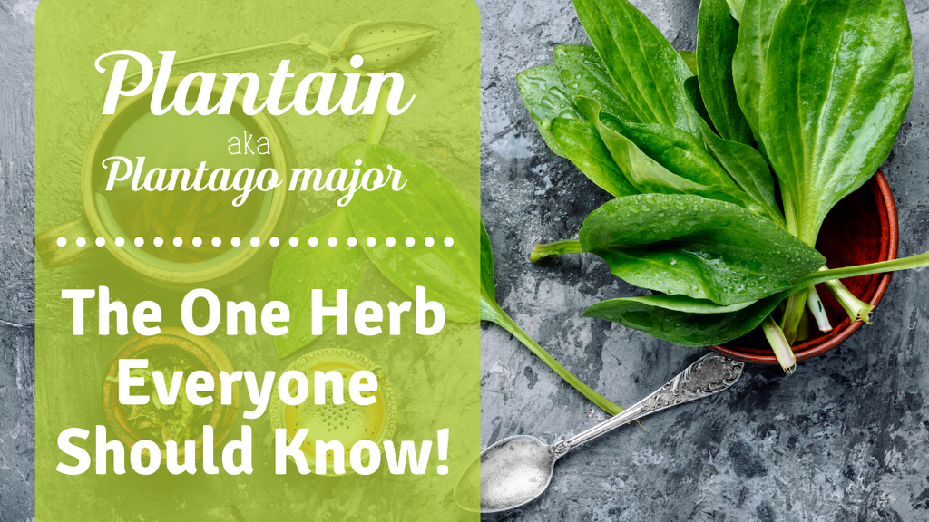 The One Herb Everyone Should Know & It's Right in Your Back Yard!