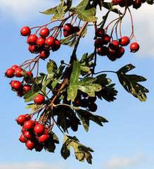hawthorn, heart health, lovers cordial,