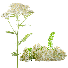 Yarrow for SKin CAre Bleeding, and Wounds