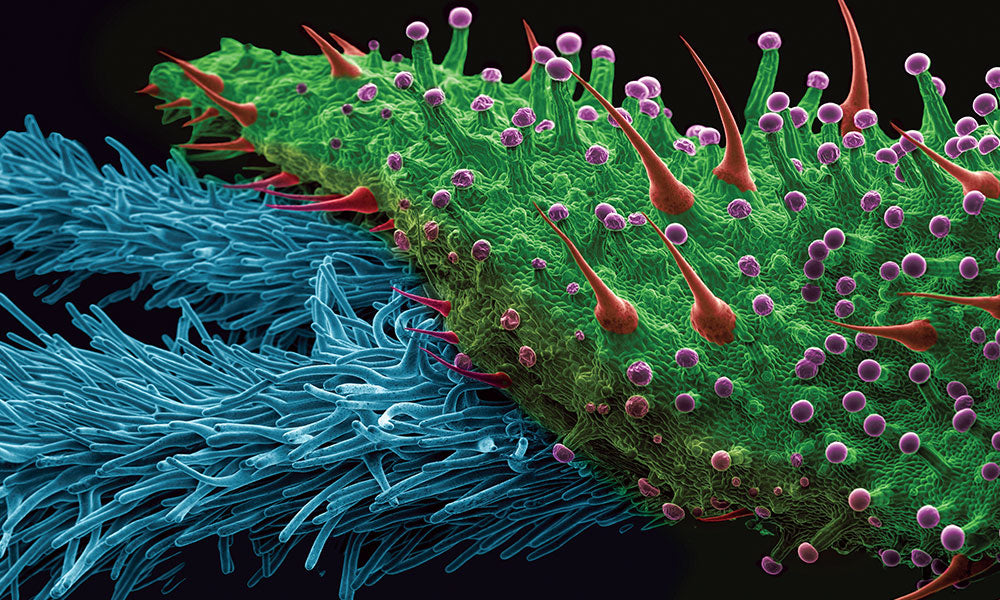 A scanning electron microscope (SEM) image with false color shows four types of trichomes on the edge of a bract leaf collected from a large bud. A bract is what encapsulates the female plant's reproductive parts and appears as green shaped leaves covered in resin glands.