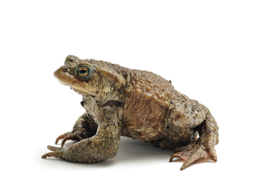 Common Toad (Bufo bufo) Plants for Ponds Ltd.