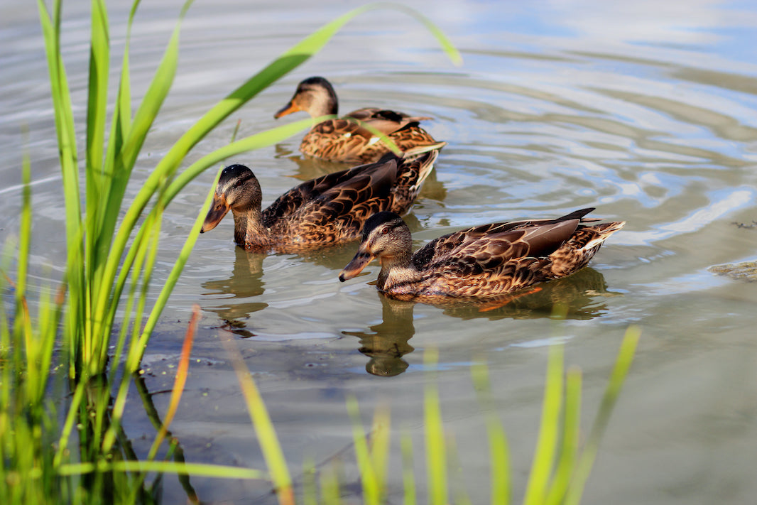 Ducks in Pond - Plants for Ponds Ltd