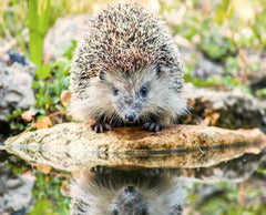 Hedgehog Visiting Pond - Plants for Ponds Ltd.