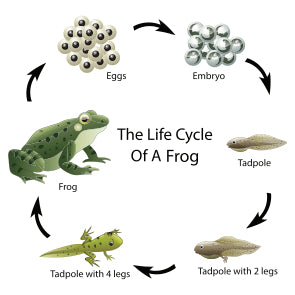 Life Cycle of a Frog - Plants for Ponds Ltd.