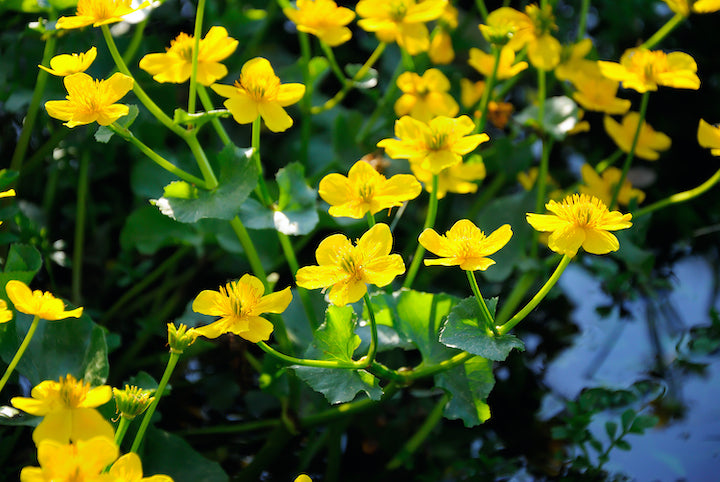 Marsh Marigold - Plants for Ponds Ltd