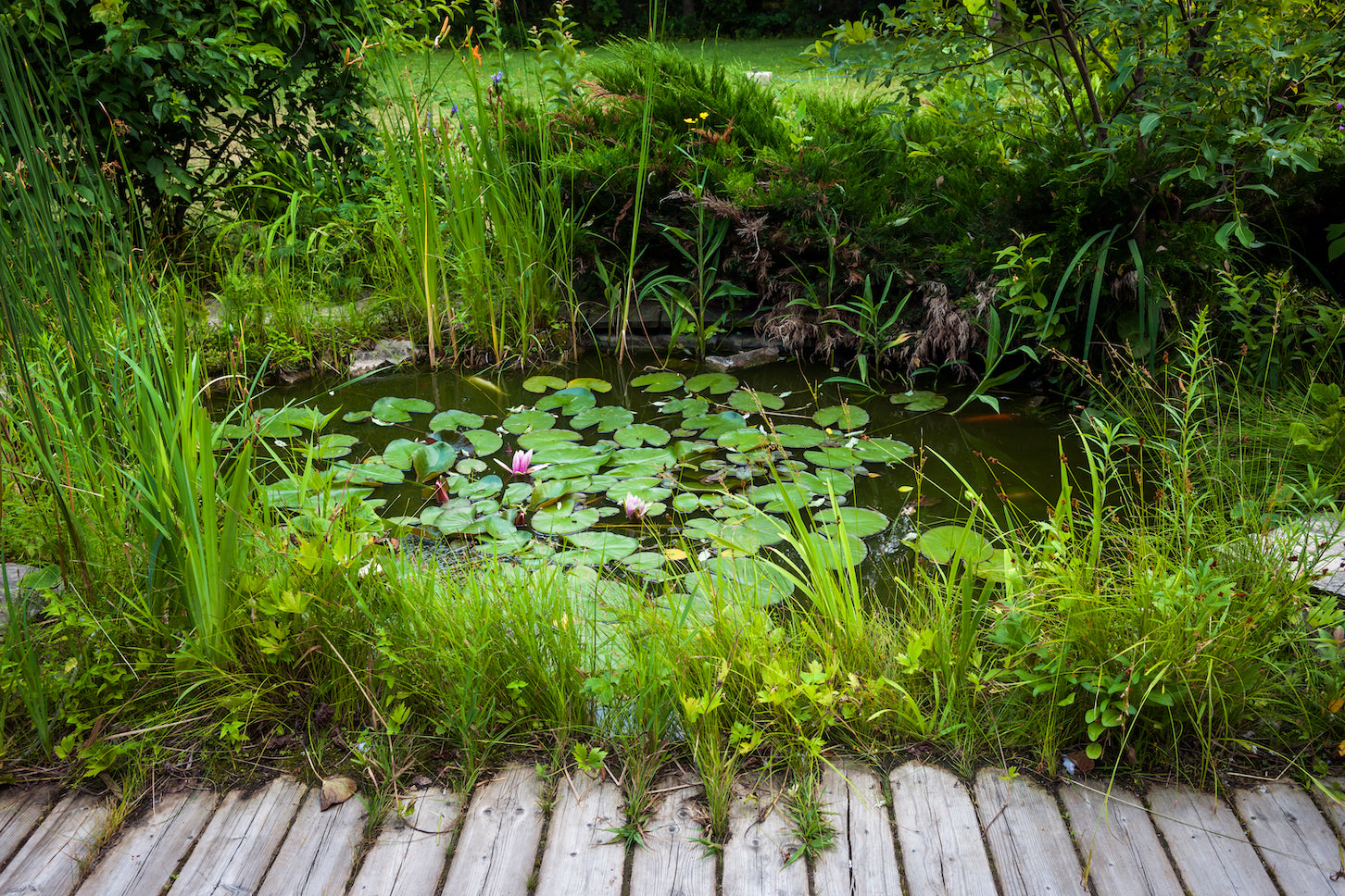 Pond with waterlilies - Plants for Ponds Ltd