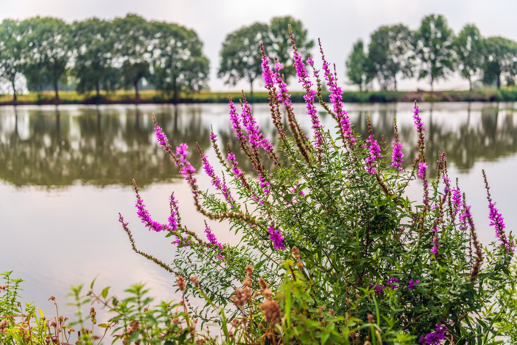 Purple Loosestrife in Pond - Plants for Ponds Ltd