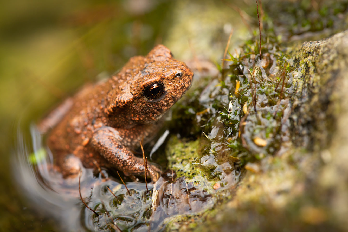 Toad Climbing Out of Pond Close up - Plants for Ponds