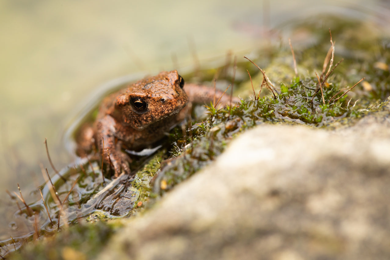 Toad Climbing Out of Pond - Plants for Ponds Ltd.