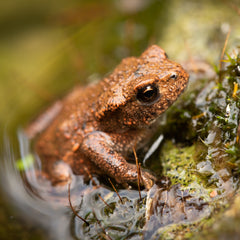 Toad Emerging From Pond - Plants for Ponds Ltd.