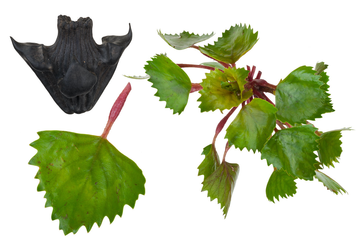 Water Chestnut Plants for Ponds Ltd.