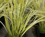 Golden variegated slender sweet flag (Acorus griminess Ogon)