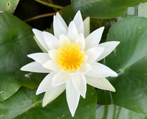 Alba White Waterlily - Plants for Ponds (top)