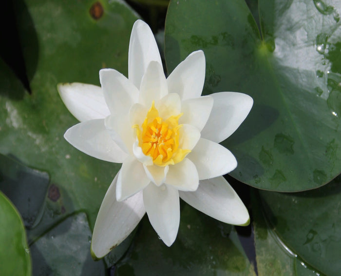 Albatross Water Lily-(Nymphaea Albratross)