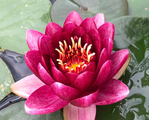 Almost Black Red Waterlily - Plants for Ponds (top)