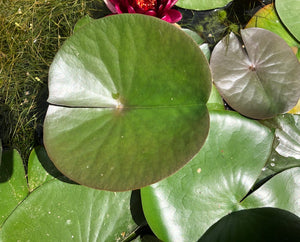 Almost Black Red Waterlily Leaf/Pad - Plants for Ponds (top)