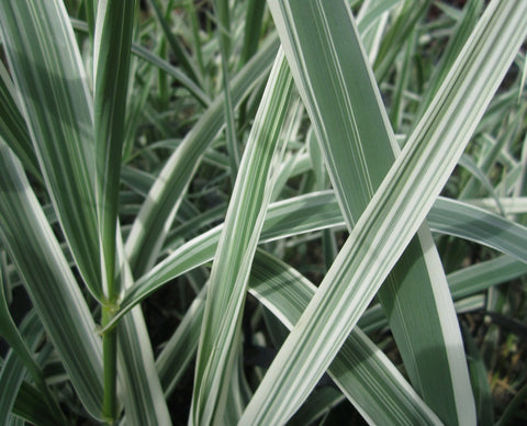 Variegated giant reed grass (Arundo donax variegata)