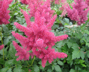 False goats beard - Pink (Astilbe Pink)