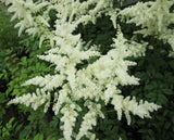 False goats beard - White (Astilbe White)