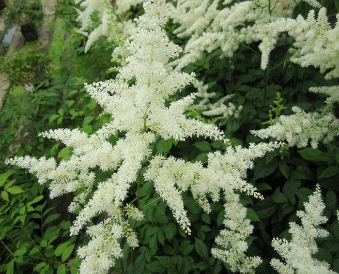 False goats beard - White-(Astilbe White)
