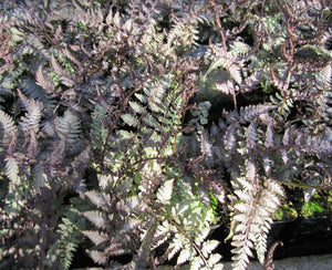 Japanese painted fern (Athyrium nipponicum Metallicum)