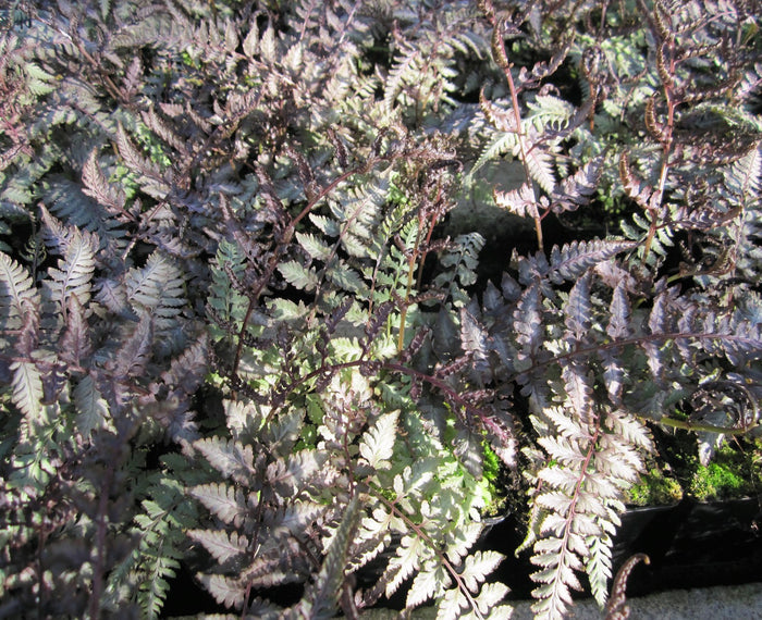 Japanese painted fern-(Athyrium nipponicum Metallicum)