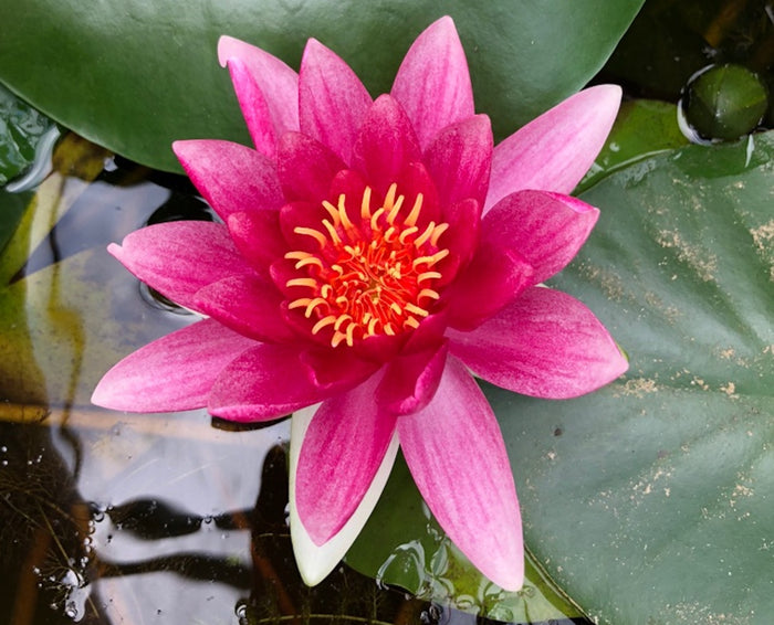 Attraction Water Lily-(Nymphaea Attraction)