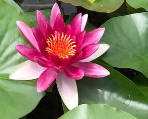 Attraction Red Water lily - Plants for Ponds (top)