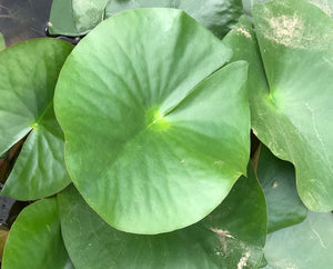 Attraction Red Waterlily Leaf Pad - Plants for Ponds (top)