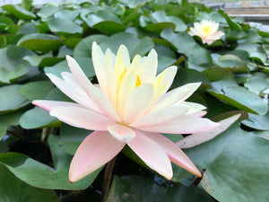Barbara Dobbins Yellow Water lily - Plants for Ponds (side)