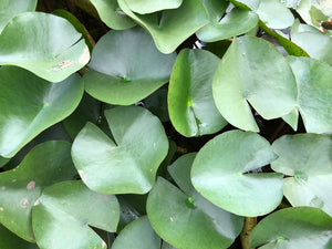 Barbara Dobbins Yellow Waterlily Leaf Pad - Plants for Ponds (top)