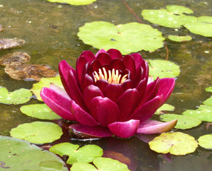 Black Princess Red Water lily - Plants for Ponds (side)
