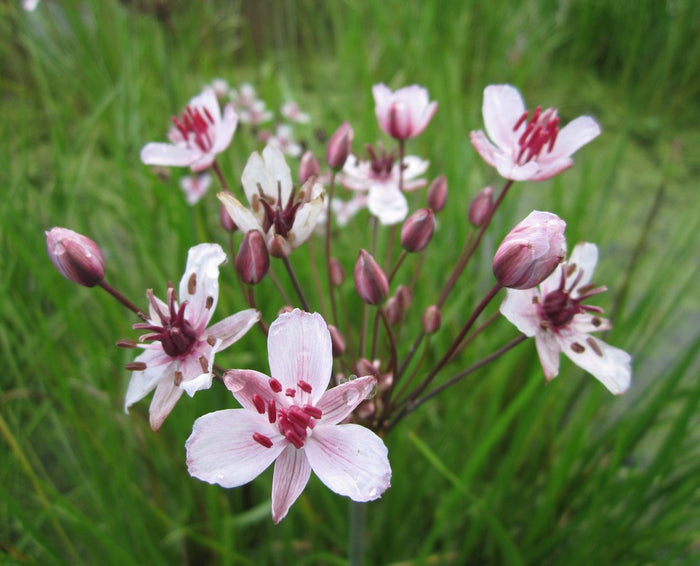 Flowering rush-(Butomus umbellatus)