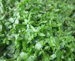 Starwort (Callitriche stagnalis) - Plants for Ponds
