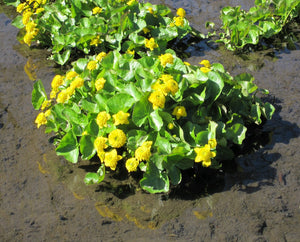 Double marsh marigold (Caltha palustris plena)