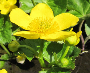 Giant king cup (Caltha palustris polypetala)