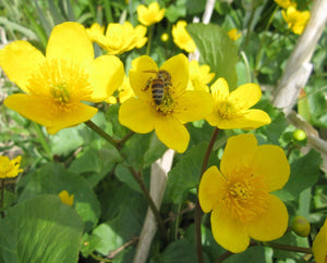 Marsh Marigold, King Cup with Bee (Caltha palustris)