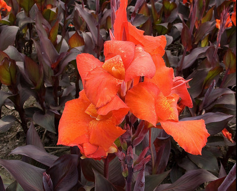 Canna 'Red Star' Hongyi