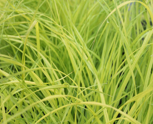 Golden sedge (Carex relata 'Aurea') - Plants for Ponds