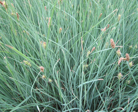 Carnation Sedge/Grass (Carex panicea)