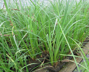 Greater Pond Sedge (Carex riparia)
